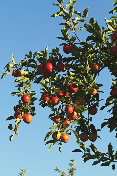 Apples hang from a tree at a Royal Farms orchard in Atwood.