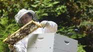Gifted and Talented resource teacher abuzz over bees