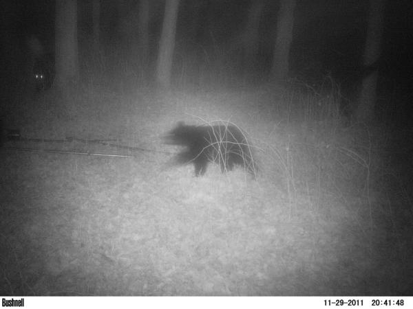 A trail camera captures two bears near Mesick.