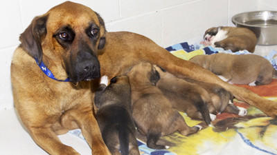 Sheila, a sweet two-year-old Shepherd mix, was pregnant and abandoned in the woods. She gave birth and carried two of her puppies to a nearby road  both still with their little umbilical cords.