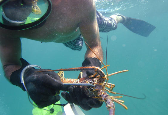 Free diver Roray Kam of Ft. Lauderdale measures a Florida Spiny lobster before bagging it, Wednesday, July 25, 2012, offshore at Lauderdale-by-the-Sea.