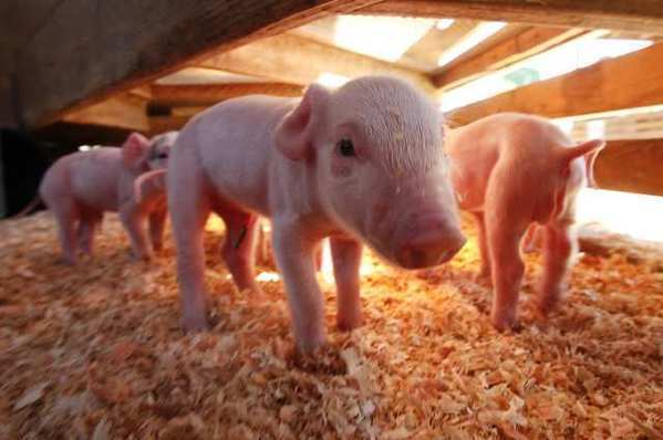 Piglets are on view at the Orange County Fair last month. In recent weeks, fairgoers in several states -- thus far not including California -- have caught swine flu after close contact with pigs.
