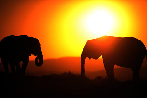 Elephants are pictured at sunset in Addo Elephant Game Reserve near Port Elizabeth in South Africa on July 1, 2010.