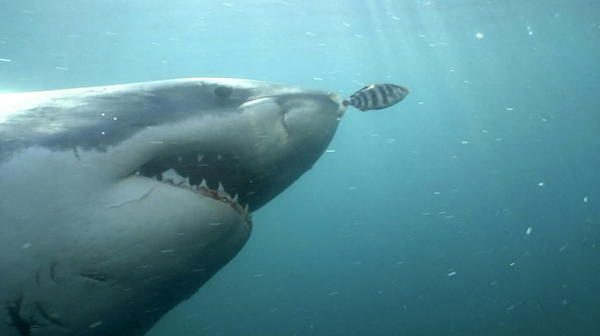 "Discovery's Shark Week -- one of the most successful and longest-running cable franchises ever -- starts Sunday. In honor of its 25th anniversary, <a href=""http://www.baltimoresun.com/entertainment/tv/bal-25-reasons-to-get-excited-about-shark-week-pictures-20120808,0,4769568.photogallery"">check out 25 reasons to watch Shark Week.</a>"