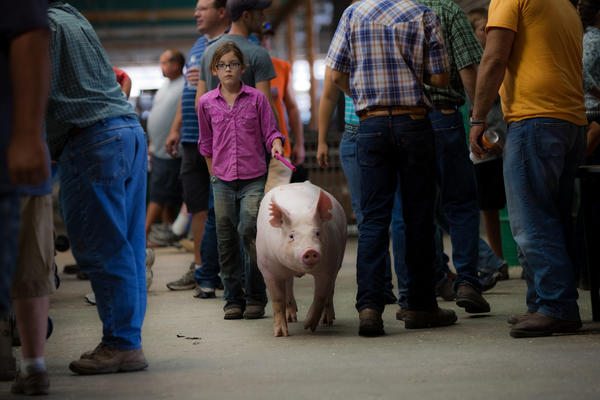 Mallory Burgener, 11, from Moweaqua, Ill., leads her pig for the Showmanship competition at the Swine Barn at the Illinois State Fair in Springfield on Thursday.