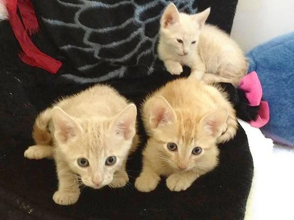 Plenty of kittens are available at Animal Crackers for adoption.