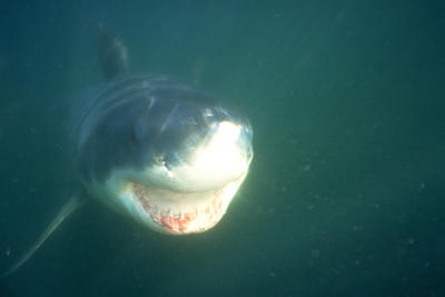 In the northern Pacific Ocean, a great white and its unforgettable face.