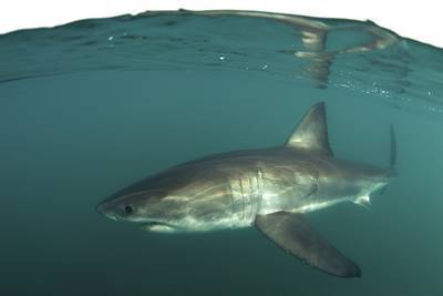 "A great white shark swims just below the surface, as seen on Shark Week's ""Air Jaws Apocalypse"" on the Discovery Channel."