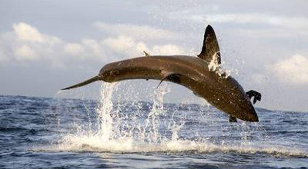 """A great white shark breaches the water's surface as seen on """"Air Jaws Apocalypse."""""""