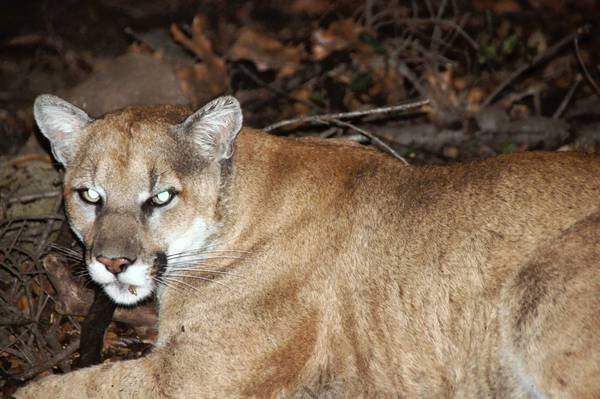 A National Park Service photograph of P-22, the 3-year-old male mountain lion that has taken up residence at Griffith Park.