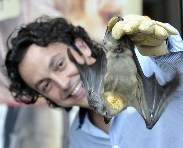 "Rob Mies coaxes ""Congo,"" a Straw-Colored Fruit Bat, to flap its wings.  Through ""Bat Encounters,""  Mies, founder of the Organization for Bat Conservation in Bloomfield Hills,  MI,  gives a close look at some different kinds of bats during Backyard Science Days at the  Maryland Science Center."