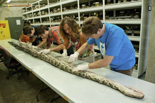 Researchers at the Florida Museum of Natural History on the University of Florida campus examine the internal anatomy of the largest Burmese python found in Florida to date. The 17-foot-7-inch snake weighed 164 pounds and carried 87 eggs in its oviducts, a state record.