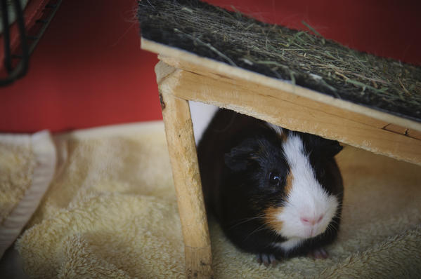 07.27.2012 - West Hartford, CT - Sneakers (L-R), a Guinea Pigs in Joanna Douglass' foster care rests in his crate. Photograph by MARK MIRKO  |  mmirko@courant.com