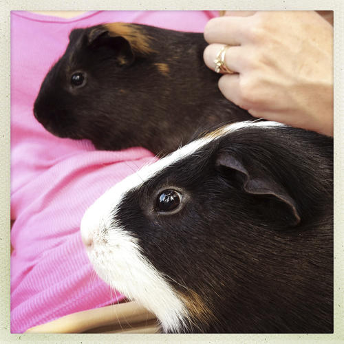 07.27.2012 - West Hartford, CT - Gilbert and Sneakers (L-R) are guinea pigs in Joanna Douglass' foster care. Photograph by MARK MIRKO  |  mmirko@courant.com