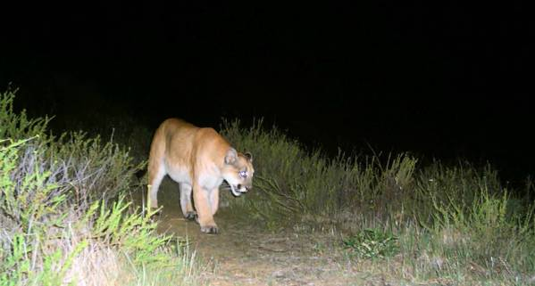 This is the first photographic evidence, taken in February, of mountain lion P-22 in the Griffith Park area.