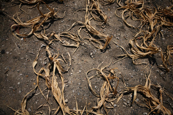 Corn damaged by heat and drought near Royalton, Ill., shown on July 26, 2012.