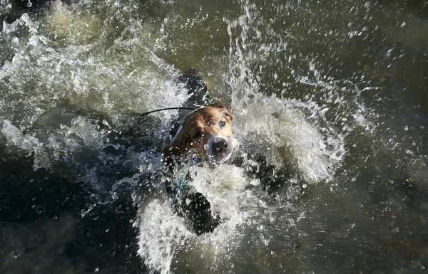 One of the hunting dogs cools off in Cache Creek in Yolo County. The California Legislature is proposing to ban the use of dogs to hunt bears and bobcats.