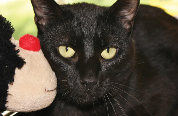 Sirloin is a lovable, friendly cat who is looking for a home. Sirloin and many other animals are available for adoption at The Humane Society of Washington County.