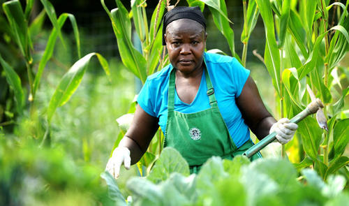 Esther Ouma walks in her vegetable garden Friday as she harvests some of the delicacies she has been raising over the summer. Esther Ouma of Allentown came to America from Kenya in 2006. She works as a certified nurses assistant and in her spare time she raises her own vegetables in the Lehigh County Garden plot on Lehnert Road in Whitehall. She is 50.