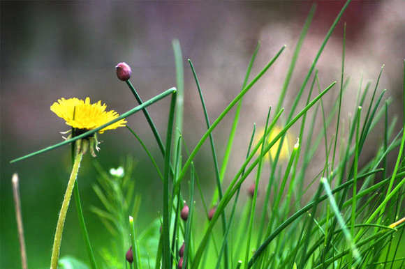 Dandelions and Chives