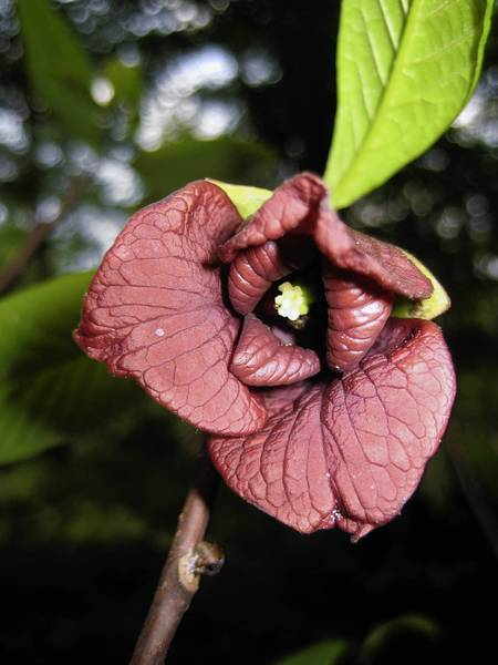 Pawpaw bears purplish-brown blooms.