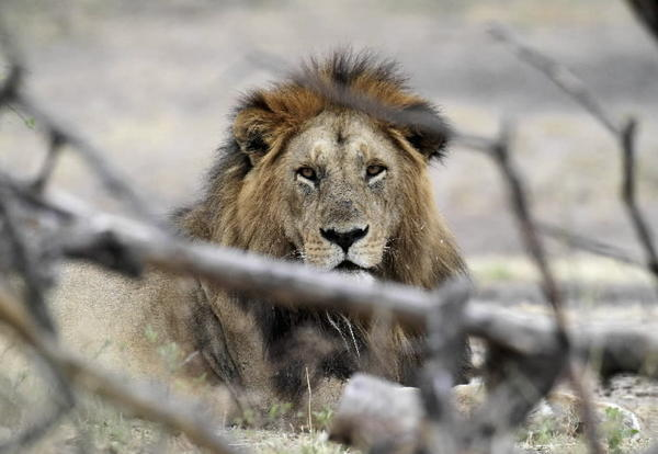 A lion rests at Tanzania's Serengeti National Park August 19, 2012.