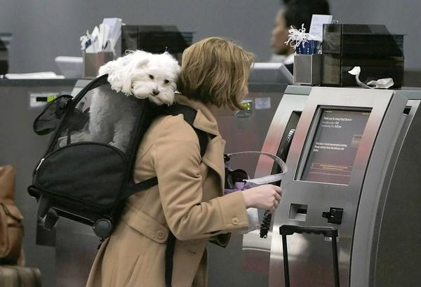 A TripAdvisor poll found 49% of people surveyed planned to take their pets with them on an upcoming trip. Above, Corie Geller checks in for her flight to Kansas City with her dog, Rocky, at O'Hare International Airport in Chicago.