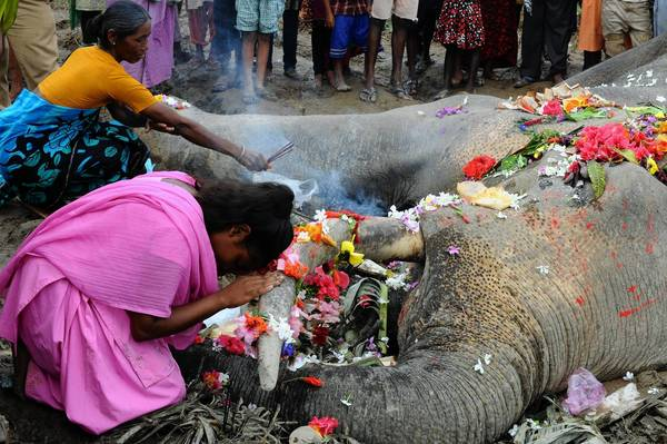 Indian villagers perform a religious ritual over a dead wild elephant at Kiranchandra Tea garden. Indian forest officials had previously treated this injured wild elephant in the India-Nepal border area for a bullet injury after its herd was attacked by Nepalese villagers in Nepal's Jhapa district.