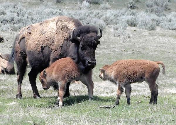 The 30 million American bison were reduced to a handful of animals, as explained in 'Facing the Stor: Story of the American Bison.'