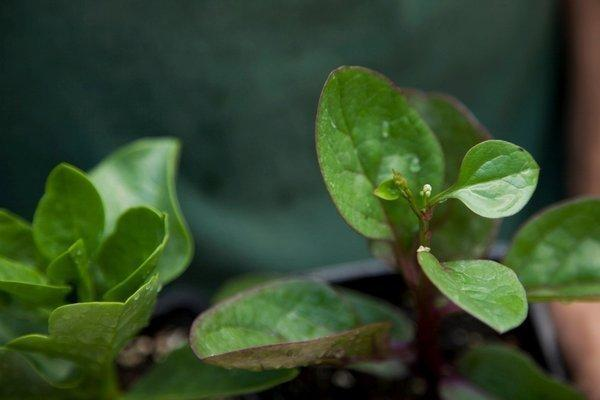 Malabar spinach isn't really spinach at all, though its leaves can be eaten as summer salad greens.