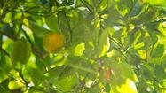 Calamondin: Cousin of the kumquat delivers fruit all year