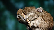 A Titi monkey who is the oldest mother of her species to give birth in a North American zoo welcomed her ninth offspring last weekend at Lincoln Park Zoo, officials said.