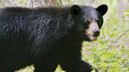 A young female black bear removed by state wildlife officials from a back yard near downtown Greenwich in early July may become the first of its kind to set up a permanent residence in Fairfield County in the past couple of centuries, according to the state's top bear biologist.