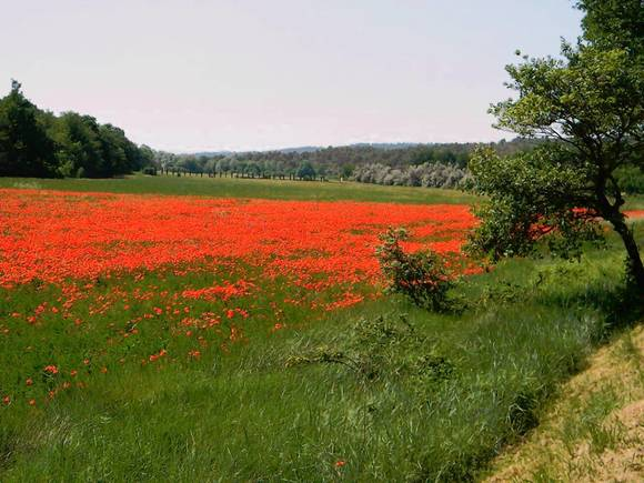 Poppies near Rians, Provence