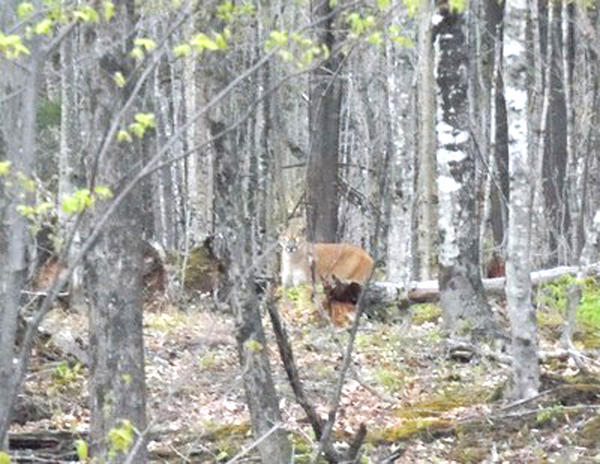 Fred Nault, of Baraga County, is credited with snapping the only confirmed photo of a cougar with a personal camera, not a trail cam, in the Upper Peninsula. He took the picture May 5 near Skanee. It is the seventh photo and 15th confirmed encounter with a cougar in the U.P. since 2008.