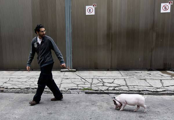 A resident walks his pet pig along the streets of Mexico City.