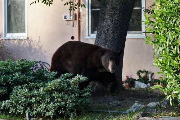The Glendale bear strolls through the front yard of a home in the 2300 block of Mayfield Avenue in La Crescenta in April before he was tranquilized, captured and taken into Angeles National Forest.