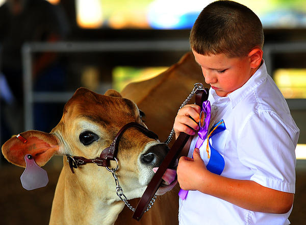Fuzzy gets a taste of victory as Matthew Vickers searches for a place to pin another ribbon Wednesday morning during dairy judging at Jefferson County (W.Va.) Fair. The Vickers farm is near Kearneysville, W.Va.