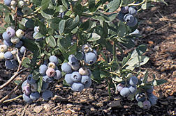 Bigger and better blueberries for home gardens are coming to the market .