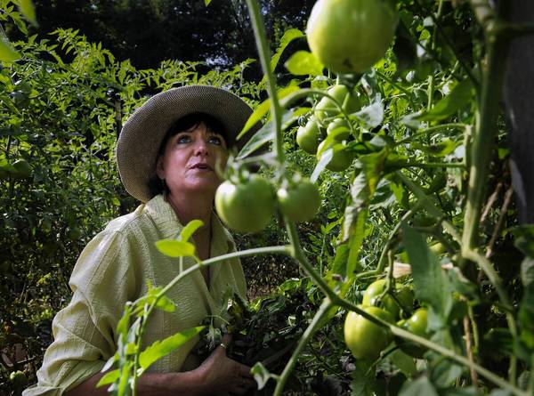 Judi Glover of Old Lyme prunes some of the hundreds of tomato plants in the Common Ground Gardens located behind the Grace Episcopal Church on Main Street in Old Saybrook. Volunteers are hard at work most Tuesdays this time of year, weeding, turning compost and harvesting vegetables to send out to local food pantries.