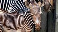 An endangered Grevy's zebra was born yesterday and the Lincoln Park Zoo is asking for the public's help in picking a name for the young male foal.