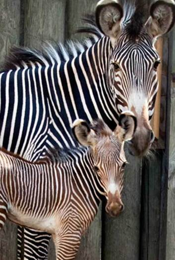 Zebra born at zoo