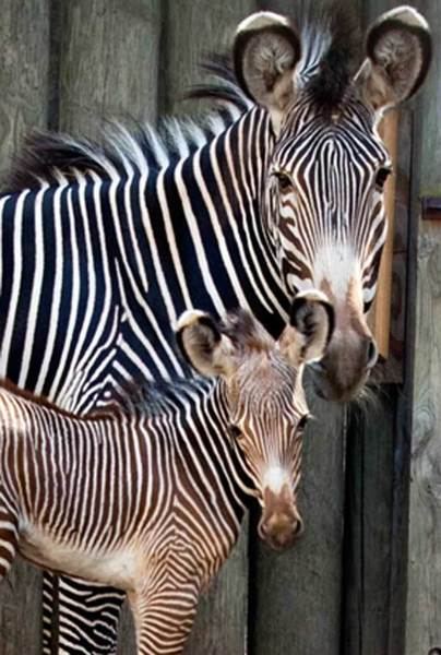A zebra foal was born Thursday at Lincoln Park Zoo.