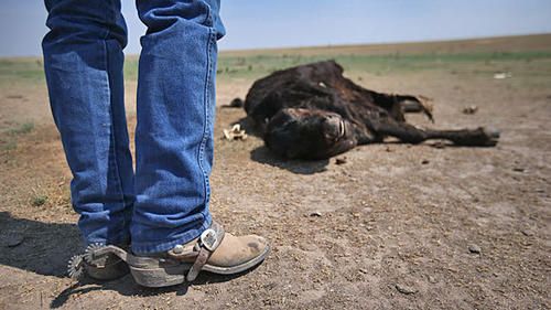 Rancher Gary Wollert inspects a dead cow on dry grasslands near Eads, Colo. He speculated that it ate a poisonous weed in search of food.
