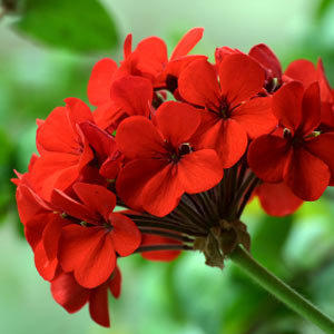 Geraniums can be kept indoors over winter and reused outdoors the next summer season.