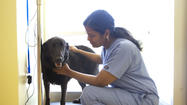 "Padma Yadlapalli, D.V.M., recently opened her veterinary practice in the Hickory Ridge Village Center in Columbia. The Freetown Animal Hospital, housed in the vacated Rave Reviews consignment shop, offers care for companion animals — dogs and cats — but Yadlapalli says, ""On occasion I see rabbits and ferrets and mice, too — but not too many of those (mice)."""