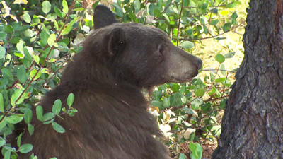 A bear struck by a car in La Canada Flintridge early on Aug. 26 was so severely injured that California Department of Fish and Game authorities euthanized it later that day. (KTLA-TV)