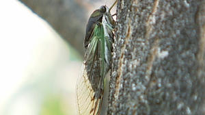 Cicadas making themselves heard