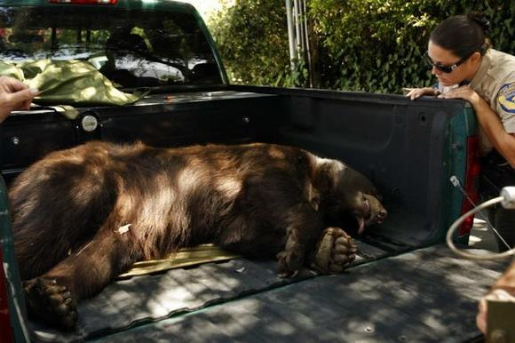 The bear known as Glen Bearian lies tranquilized in the back of a pickup truck after a foraging visit in the Glendale/La Crescenta area in July.