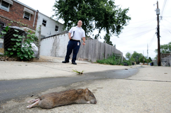 Adam Whitlock, a Baltimore County code enforcement inspector, stands near a dead rat in an alley while performing an inspection in Ridgeleigh Monday, Aug. 20, 2012.